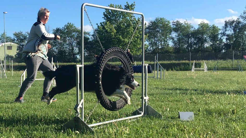 Agility bordercollie springer igennem hjul
